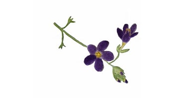 Flor de Bach Soledad